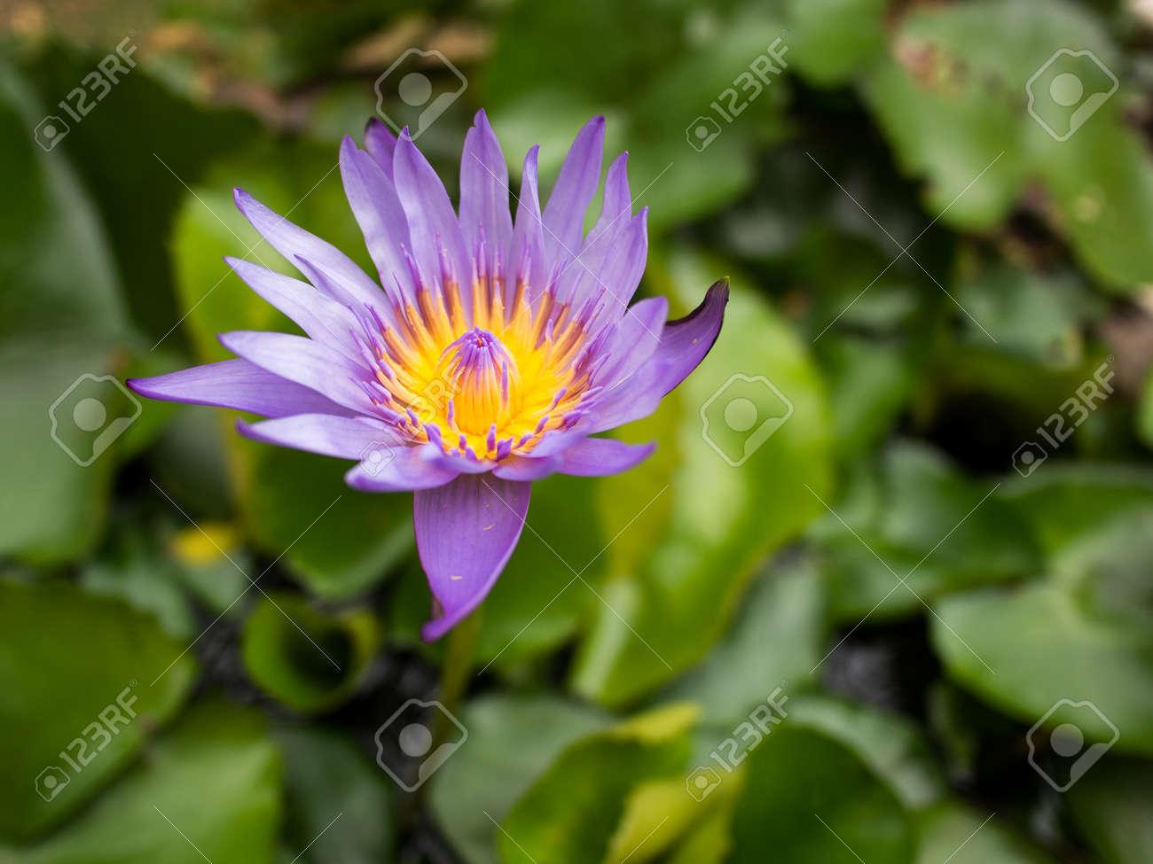 La Imagen De La Flor De Loto Púrpura Fotos Retratos Imágenes Y