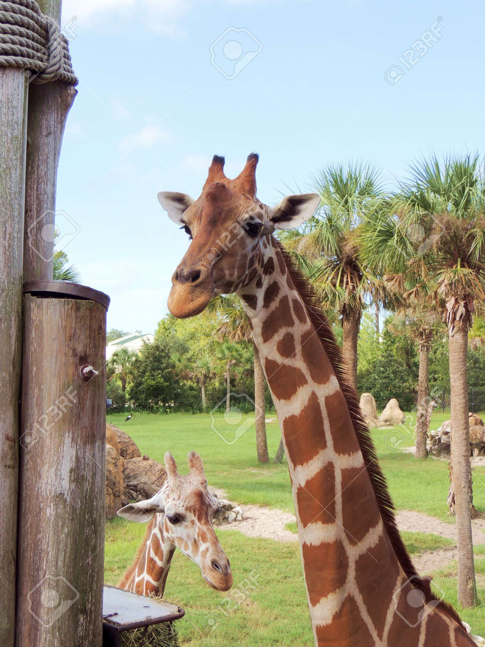 Giraffe Mother And Baby Stock Photo Picture And Royalty Free Image