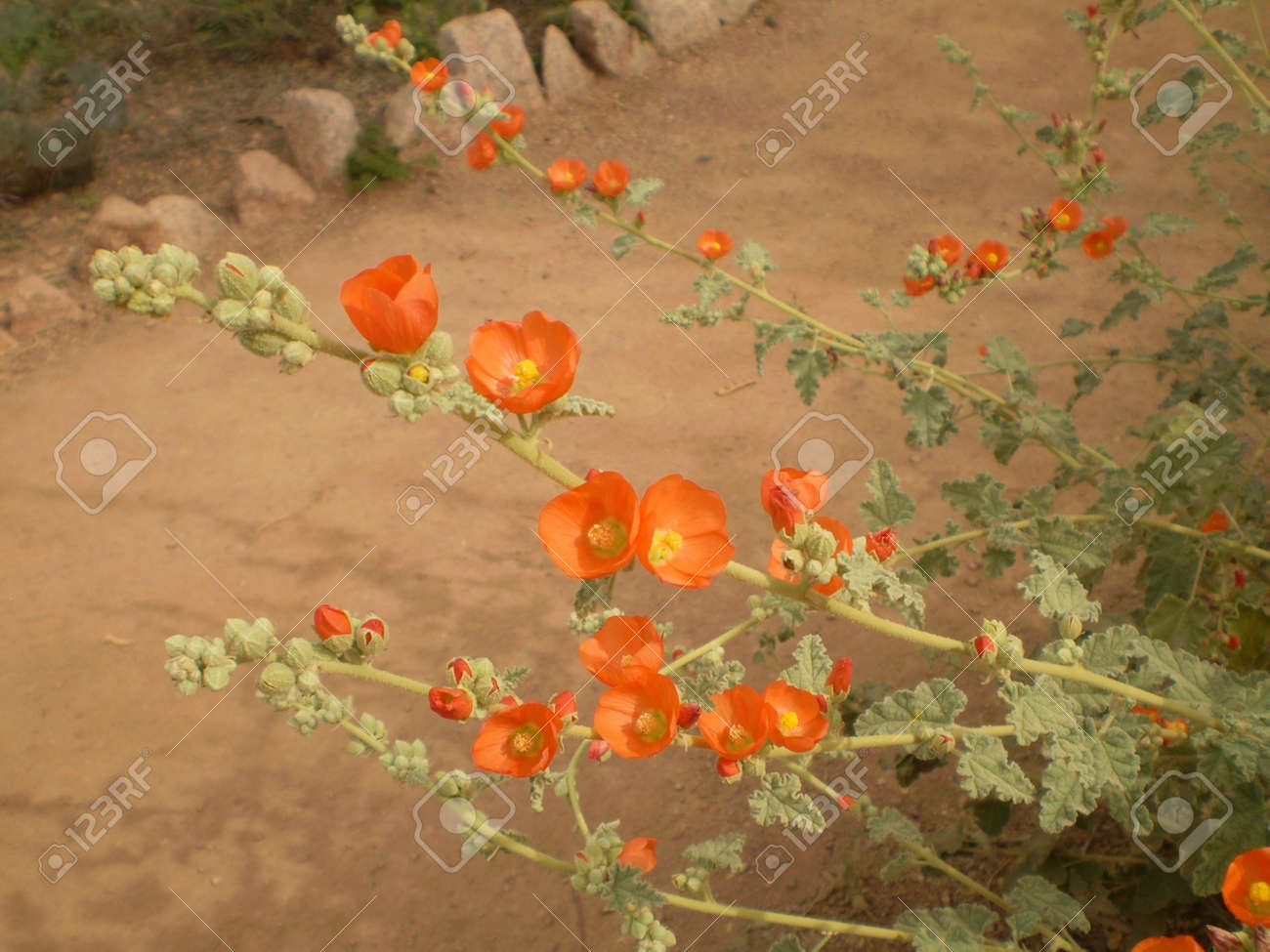 orange desert flowers stock photo picture and royalty free image
