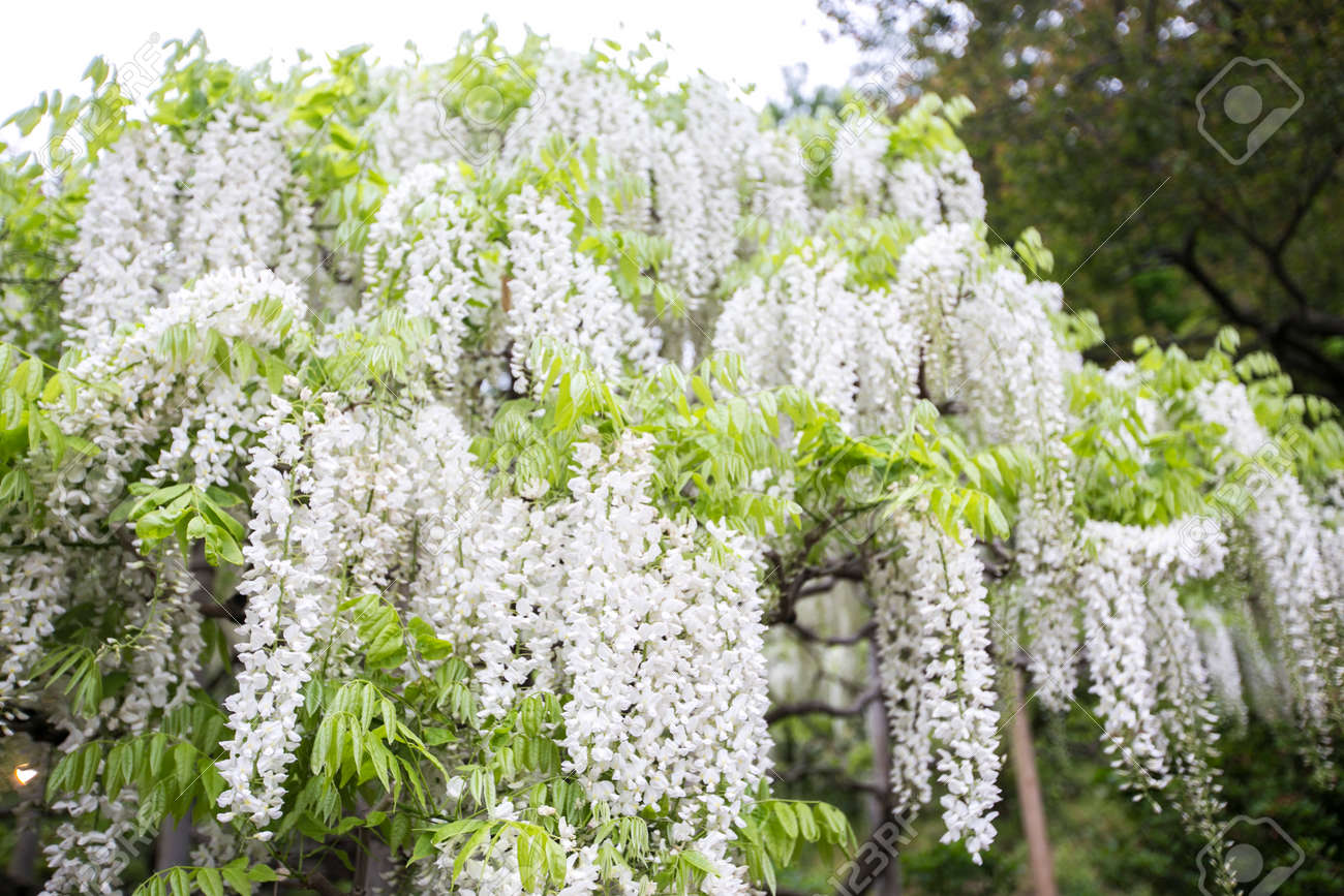 White Wisteria Flower Tree Blooming In Garden Stock Photo Picture