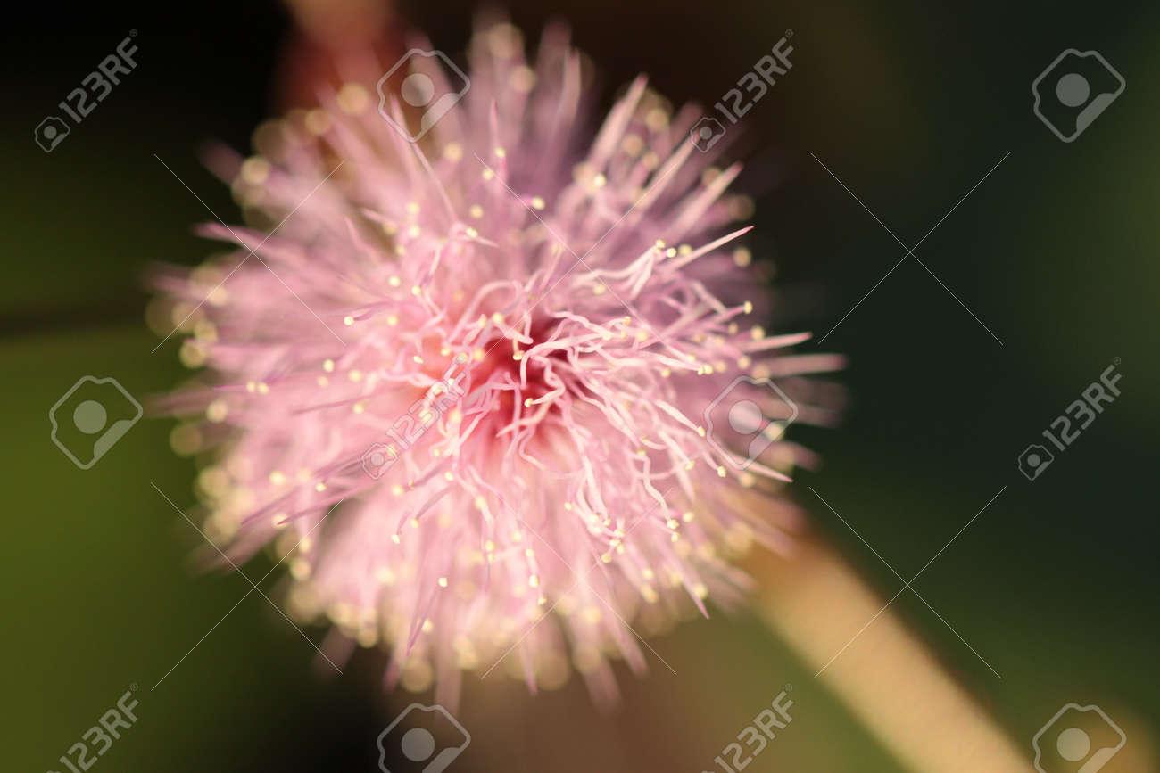 Pink sensitive weed flower pom pom stock photo picture and royalty pink sensitive weed flower pom pom stock photo 37537518 mightylinksfo