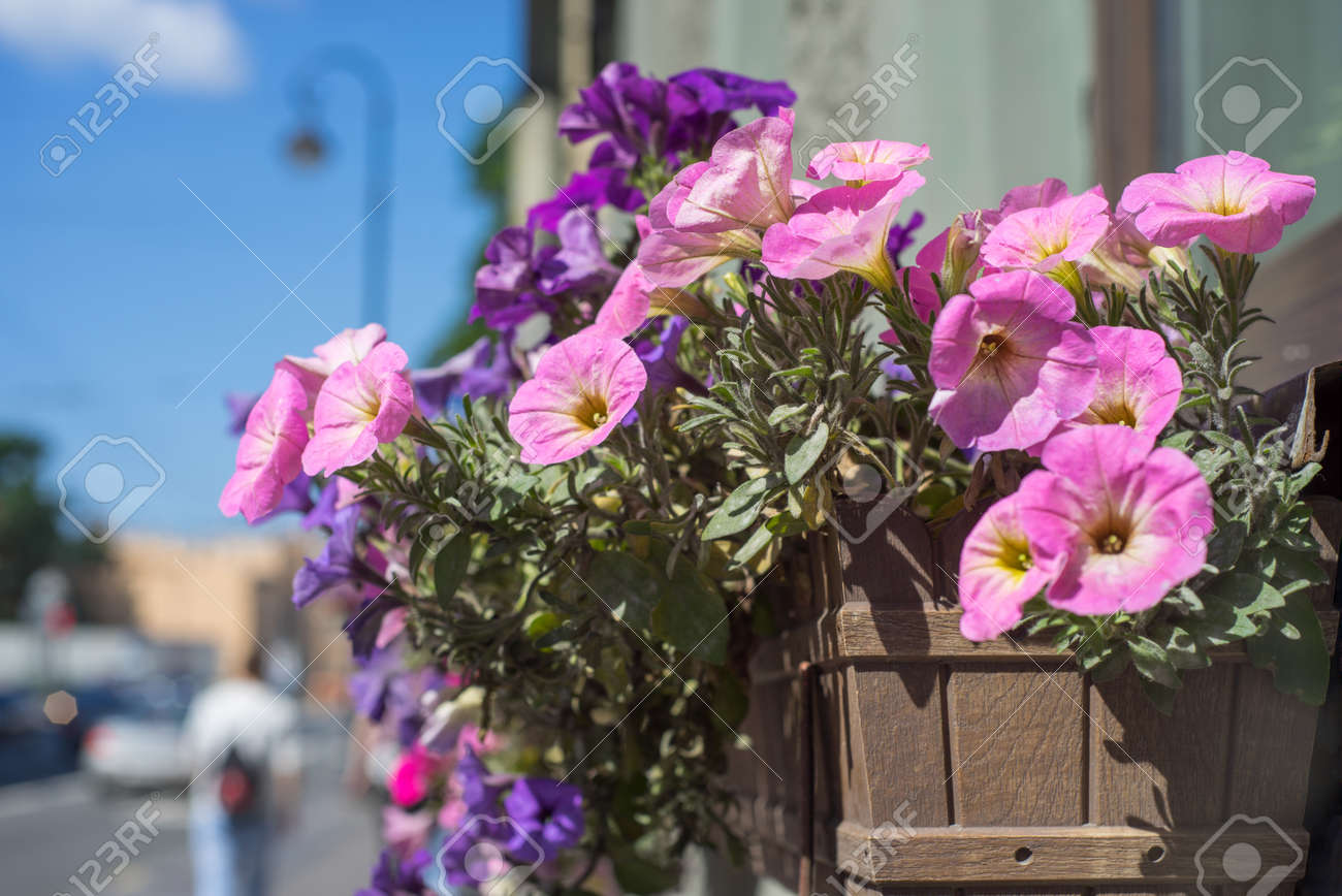 Flower Pot With Pink Flowers Hang On The Street Stock Photo Picture