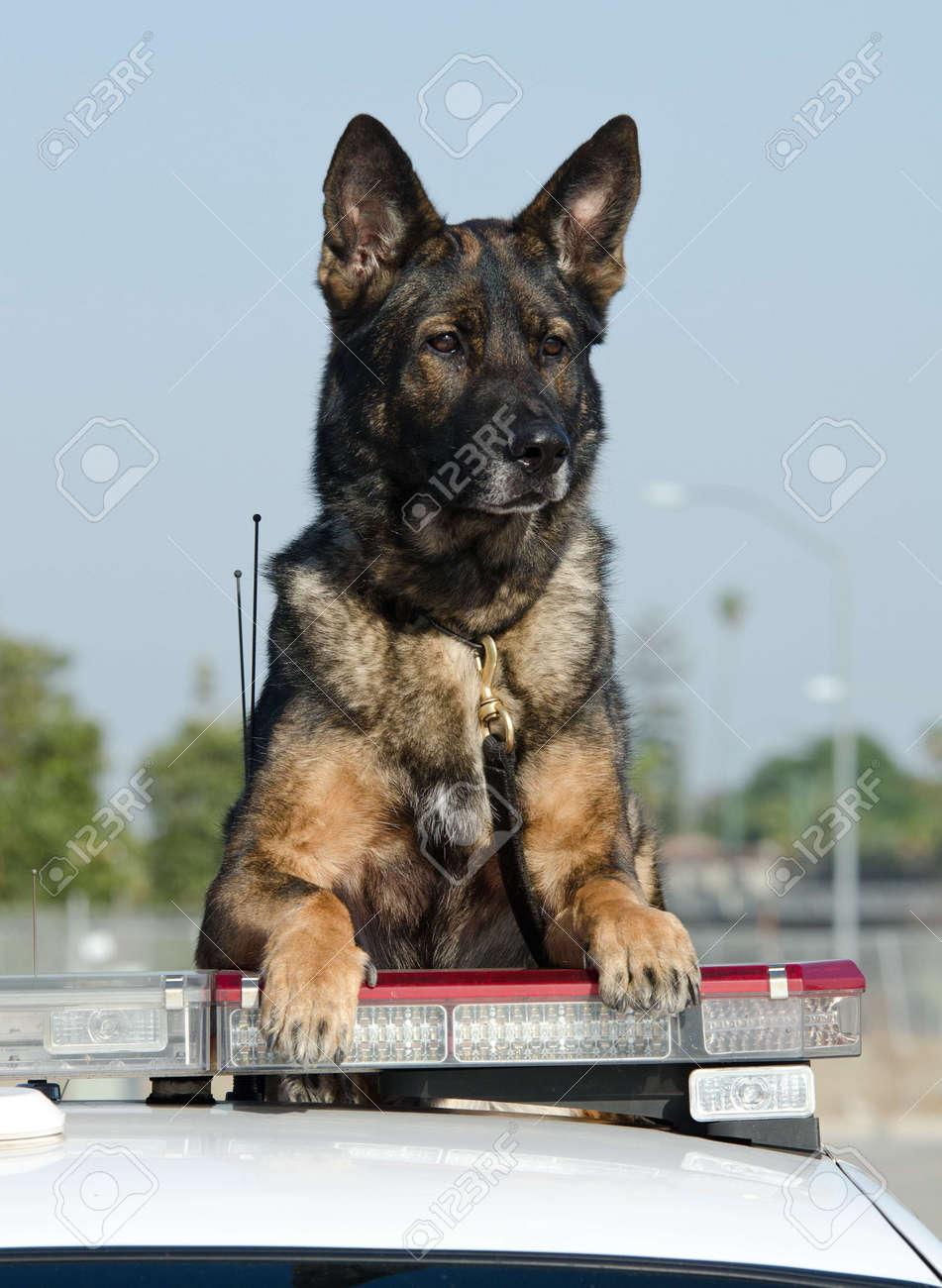 警察の車の屋根の上の K9 警察犬...