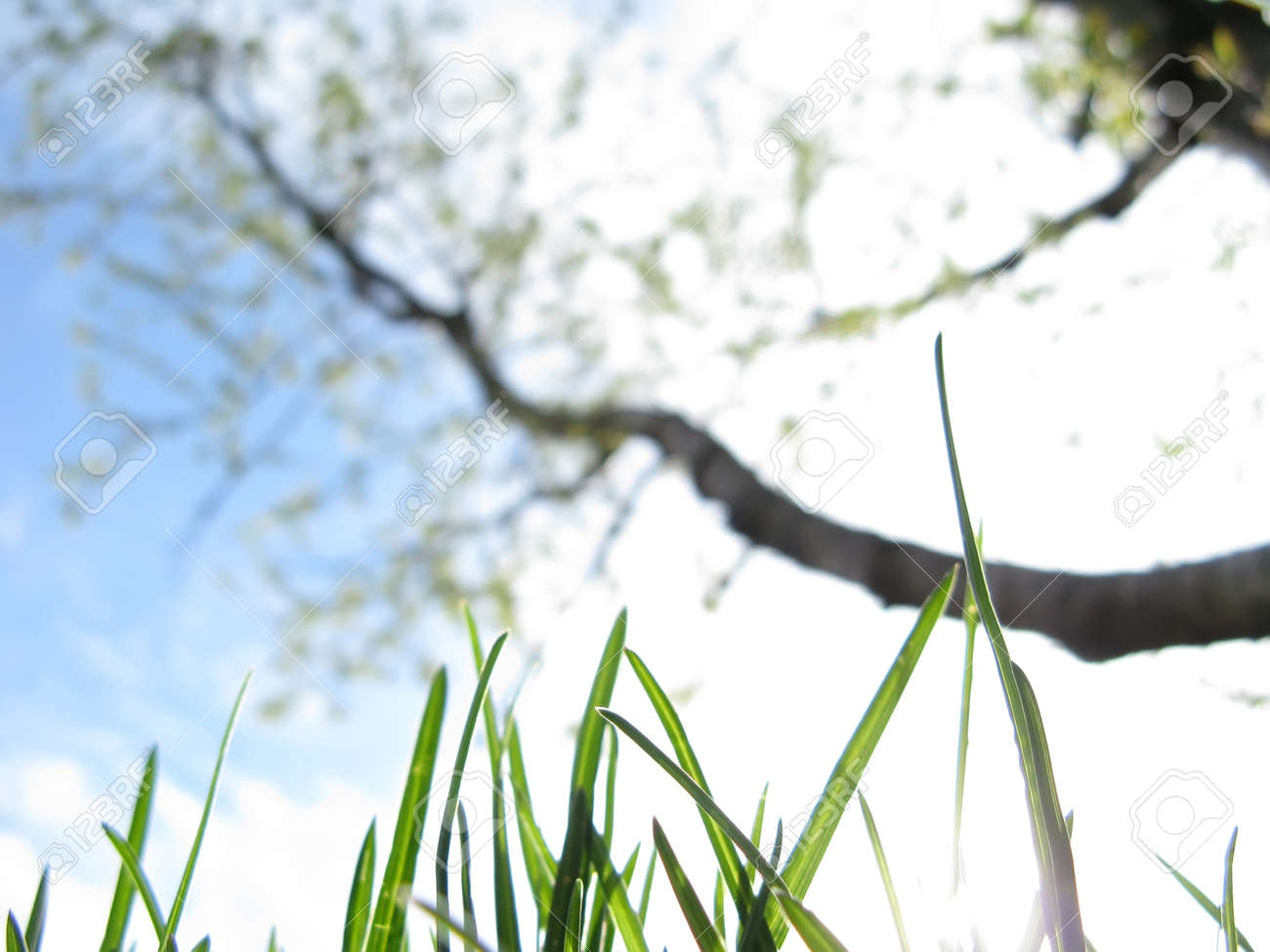 Young grass and flowering fruit tree in a garden against a sky in spring close-up Stock Photo - 12409413