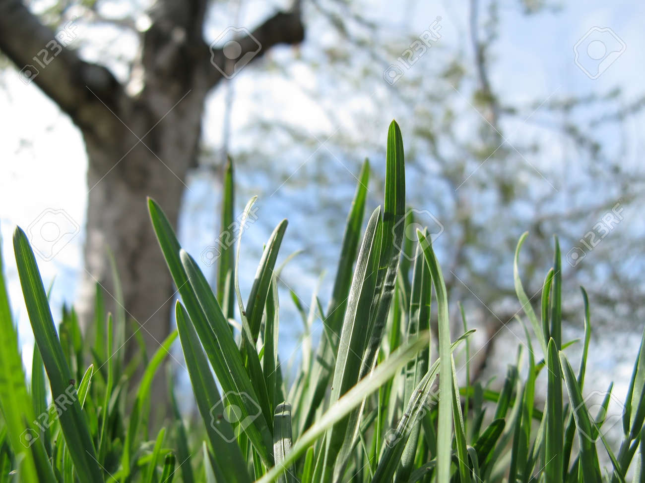 Young grass and flowering fruit tree in a garden against a sky in spring close-up Stock Photo - 12409439