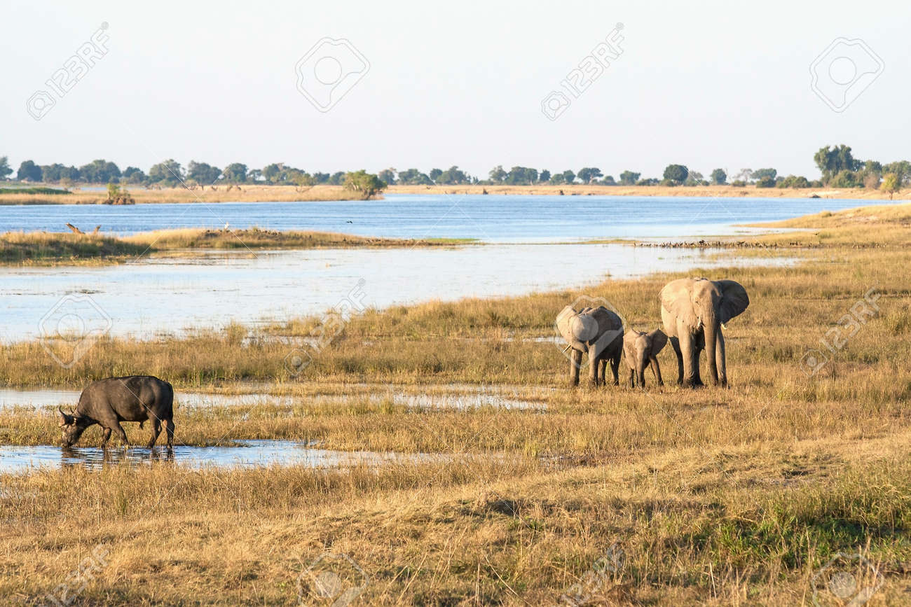 A group of elephants and a buffalo in Botswana - 25889340