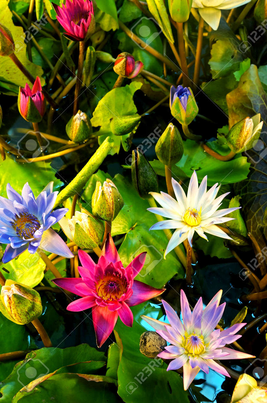 Mixed Colors Lotus Flower Blooming At Summer Stock Photo, Picture ...
