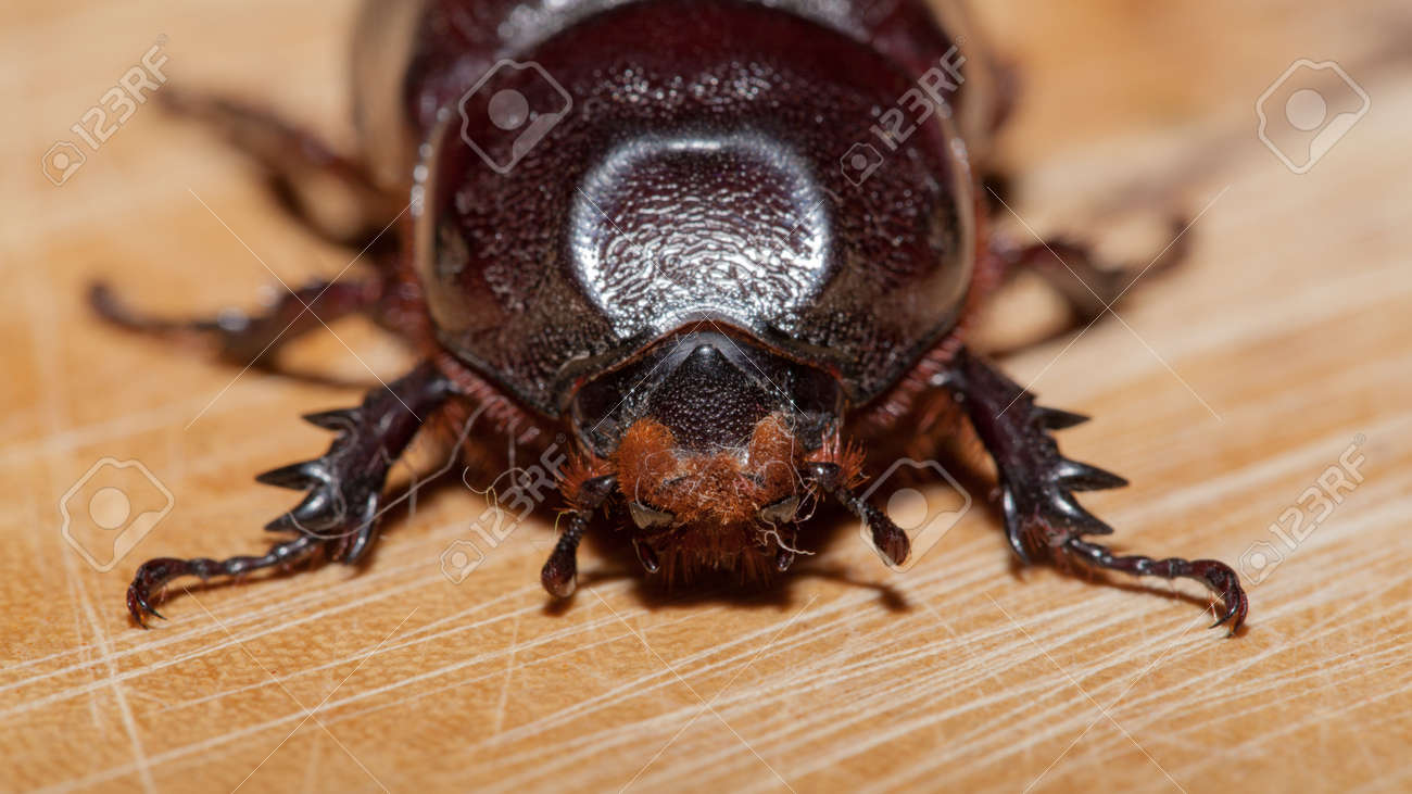 Escarabajo Elefante