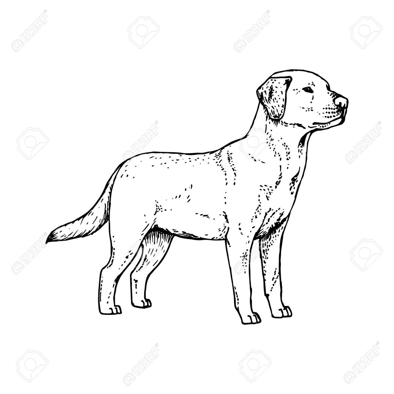 Disegno Cane Bianco E Nero.Cane Labrador Disegnato A Mano Animale Realistico Retro Isolato Stile Vintage Doodle Linea Grafica Animale Da Disegno In Bianco E Nero Schizzo