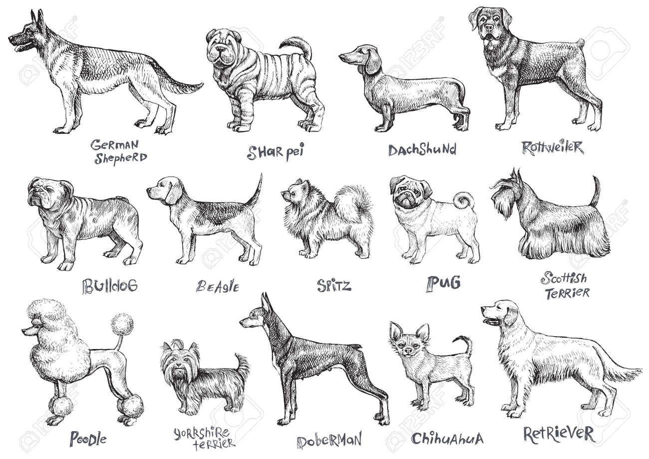 Conjunto De Vectores De Razas De Perros Ilustración De Dibujo A