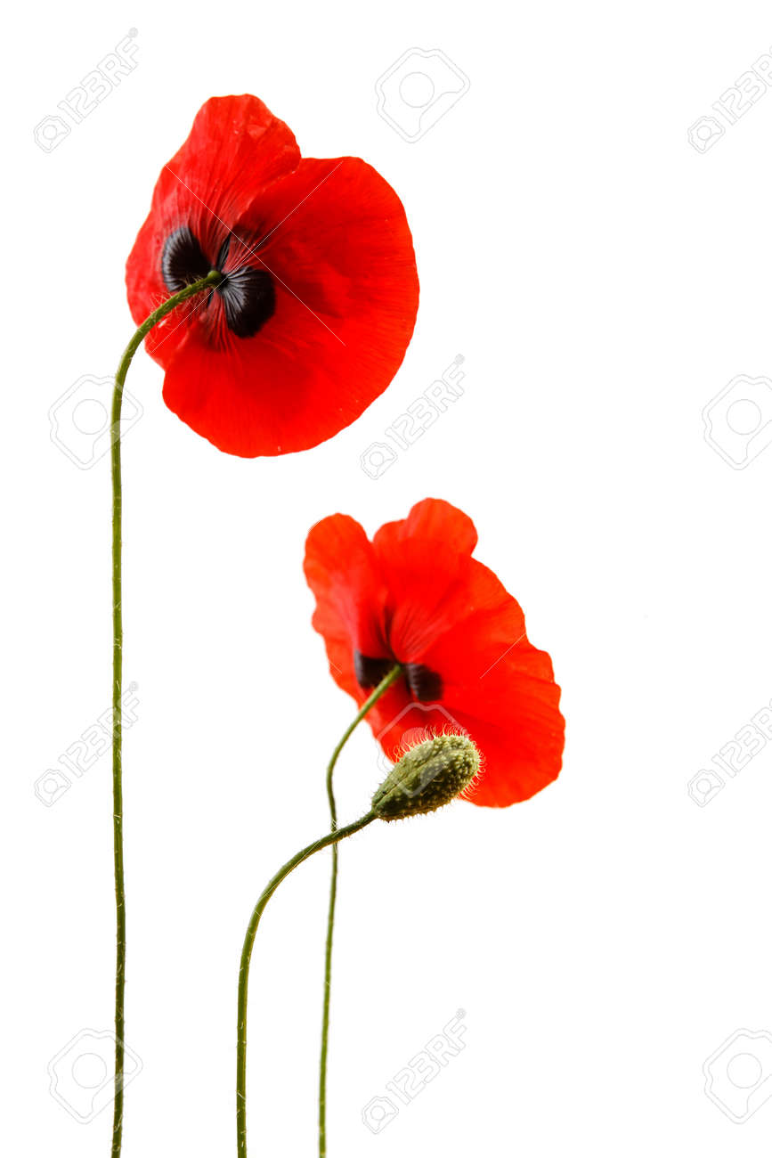 Red poppies isolated on white background in studio shoot - 154080752