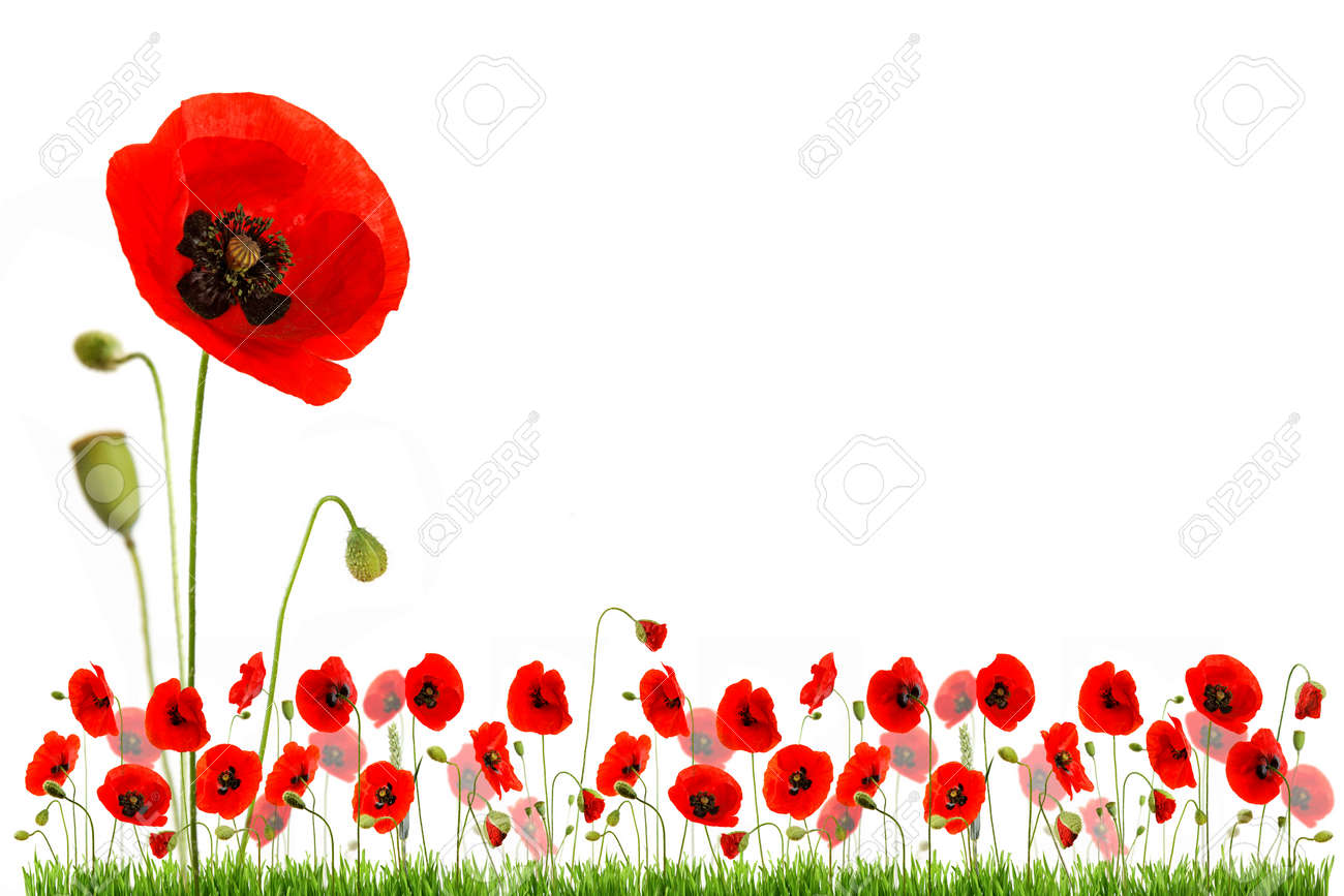 composition with red poppies and green grass isolated on white background - 154080753