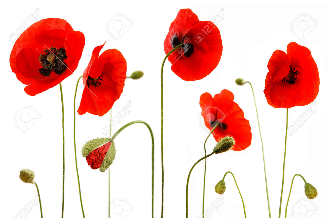 Red poppies isolated on white background - 154039199