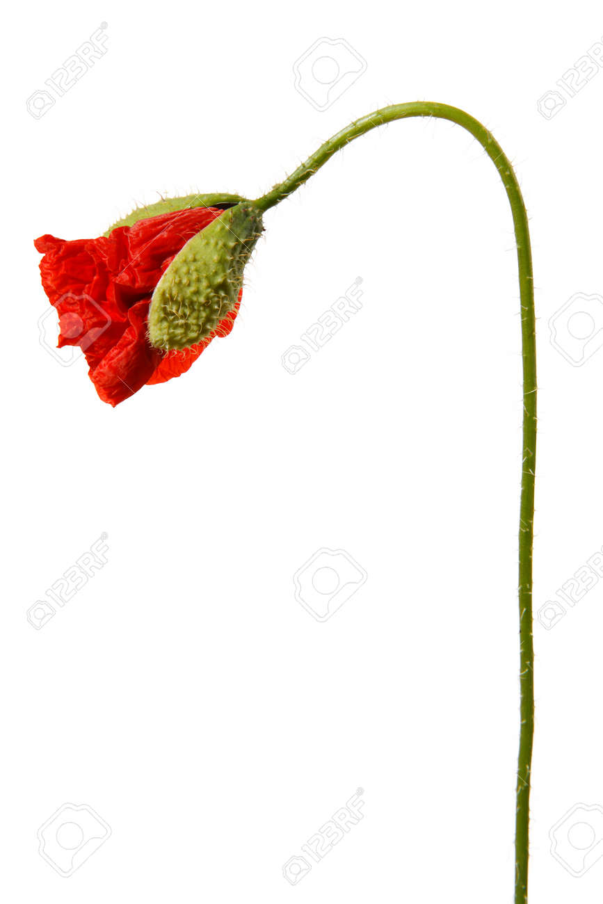 Single red poppy flower bud isolated on white background. - 154080761