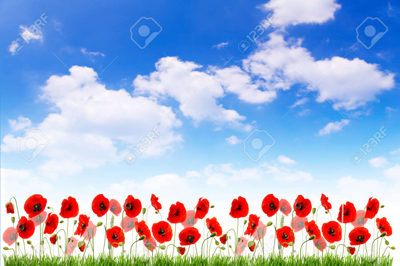Multiple red poppies with grass and buds on blue sky - 154080758