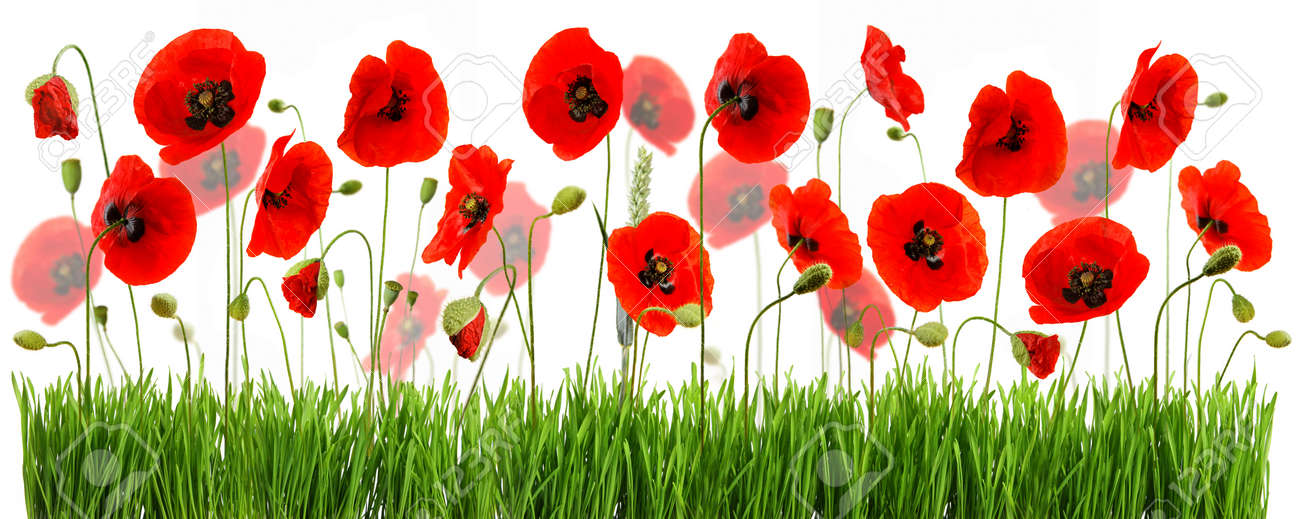 composition with red poppies and green grass isolated on white background - 154080763