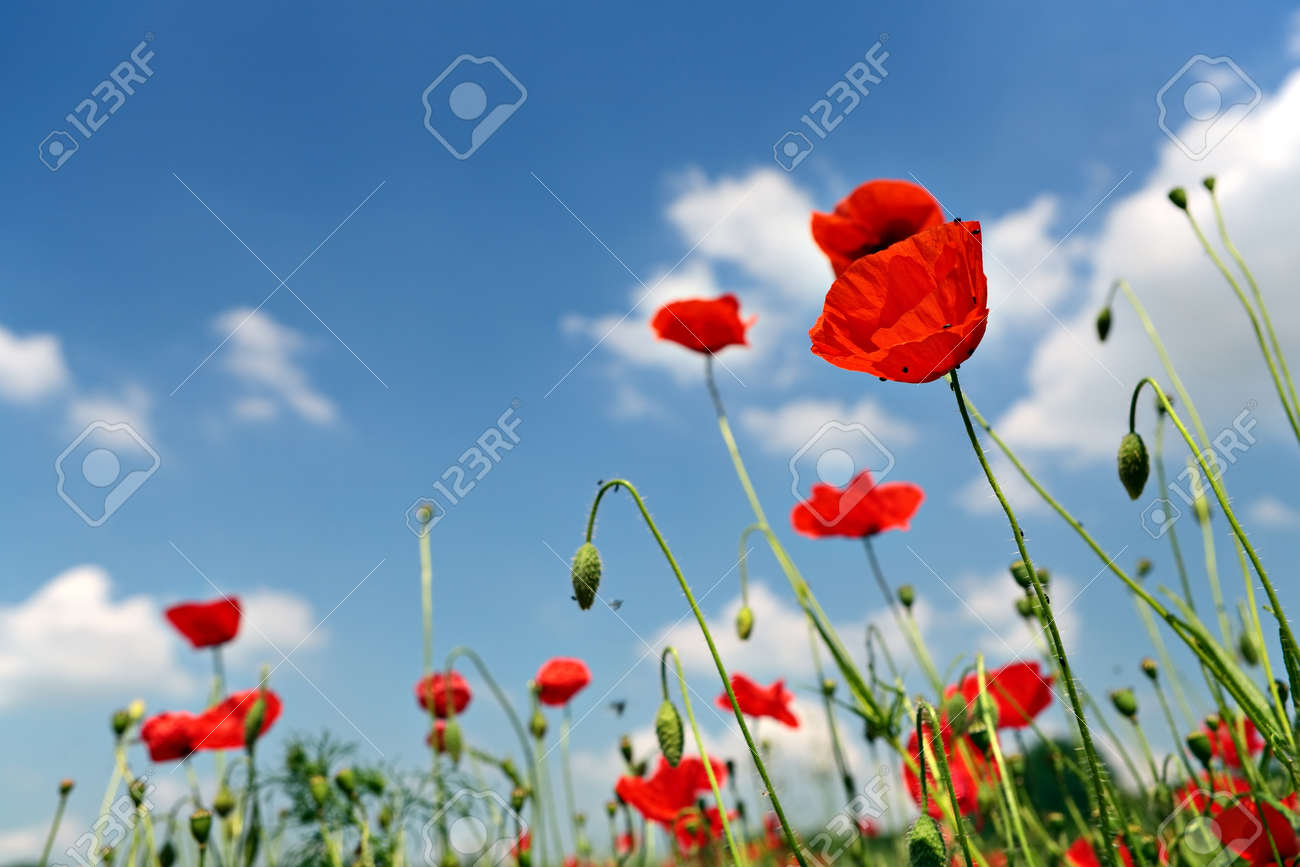Several red poppies in the grass on a blue sky background - 154080764
