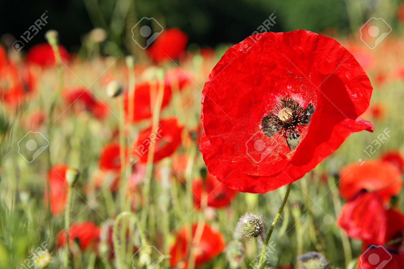 Fields of red poppies in the middle of green spring wheat crops - 154080765