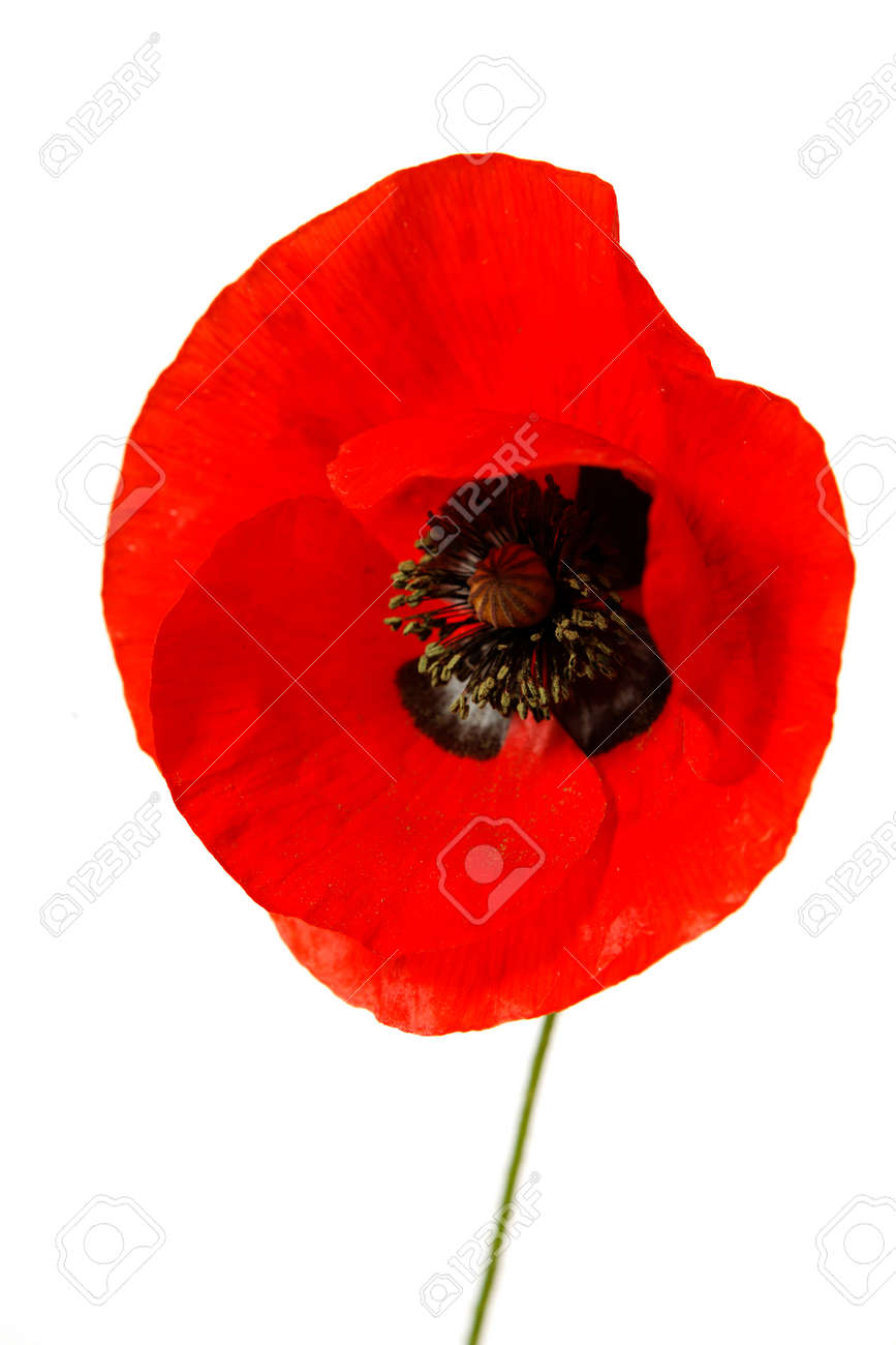 A single red poppy isolated on white background - 154080766