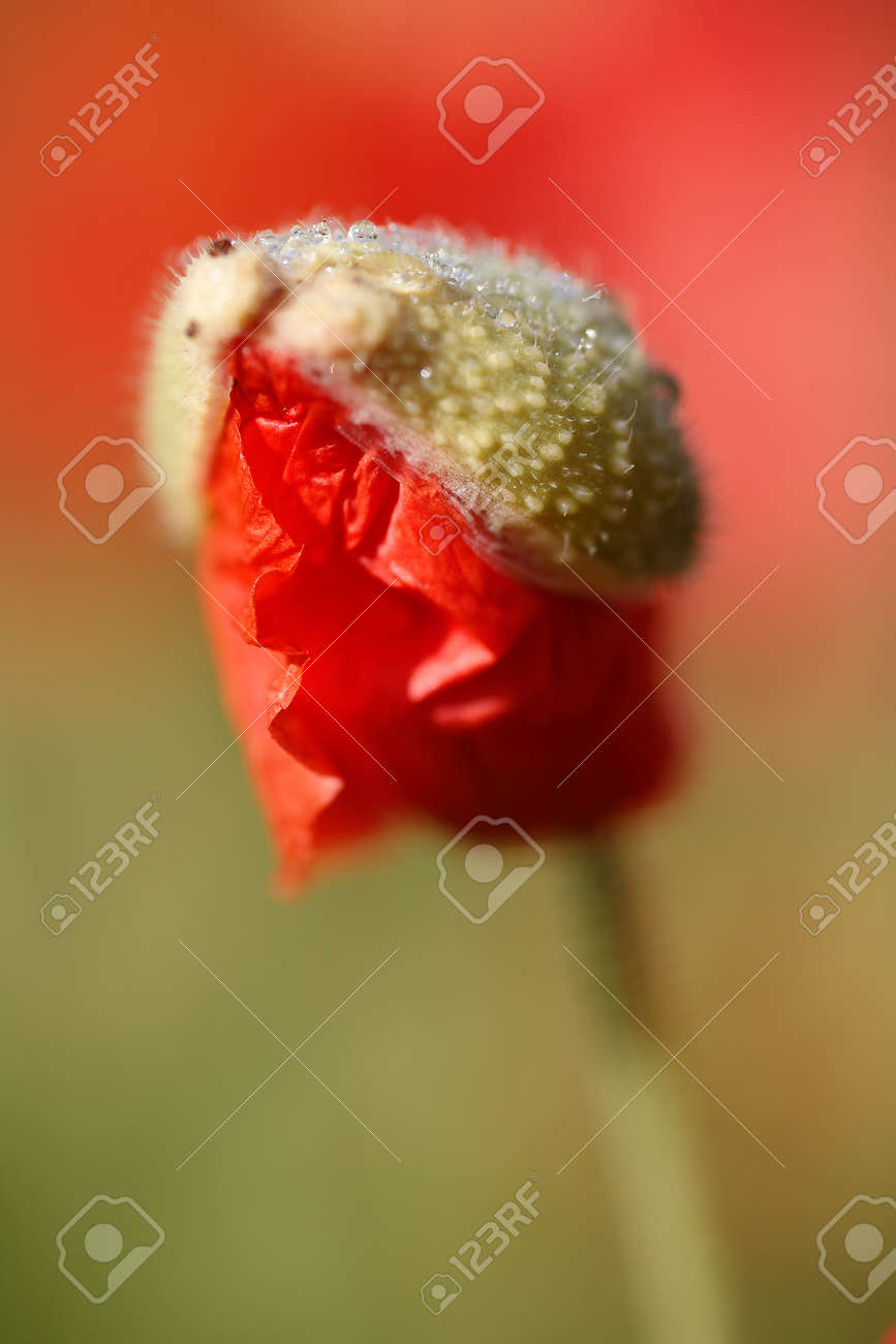 Macro shooting in nature of a red poppy flower bud - 154038066