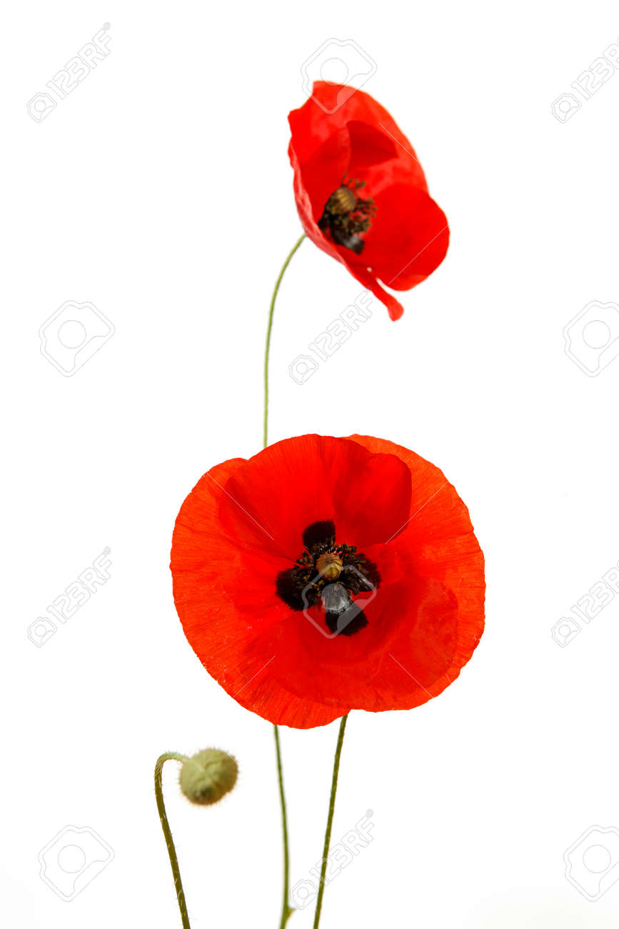 Red poppies isolated on white background in studio shooting - 154080771