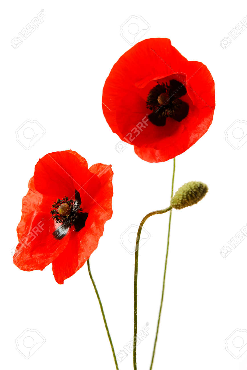 Red poppy flowers isolated on white background - 154038278