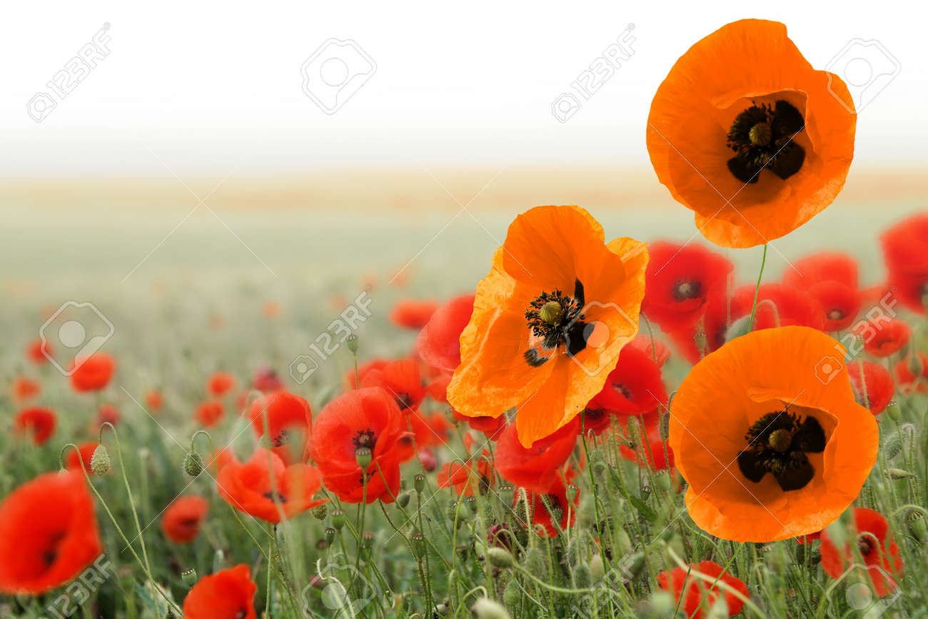 Beautiful red and orange poppies in a field in spring - 154080772