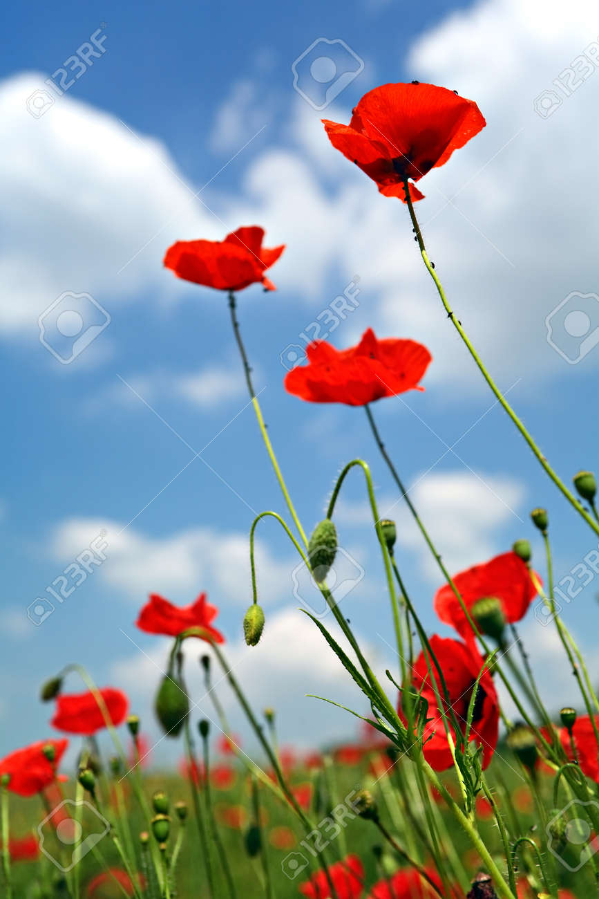 Multiple red poppies with grass and buds on blue sky - 154039221