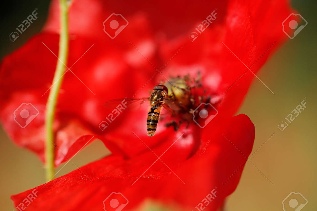 Close-up shot in nature of a red poppy flower with a bee - 154080773