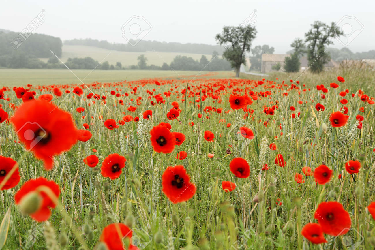 Wheat fields with red poppies and trees - 154080774