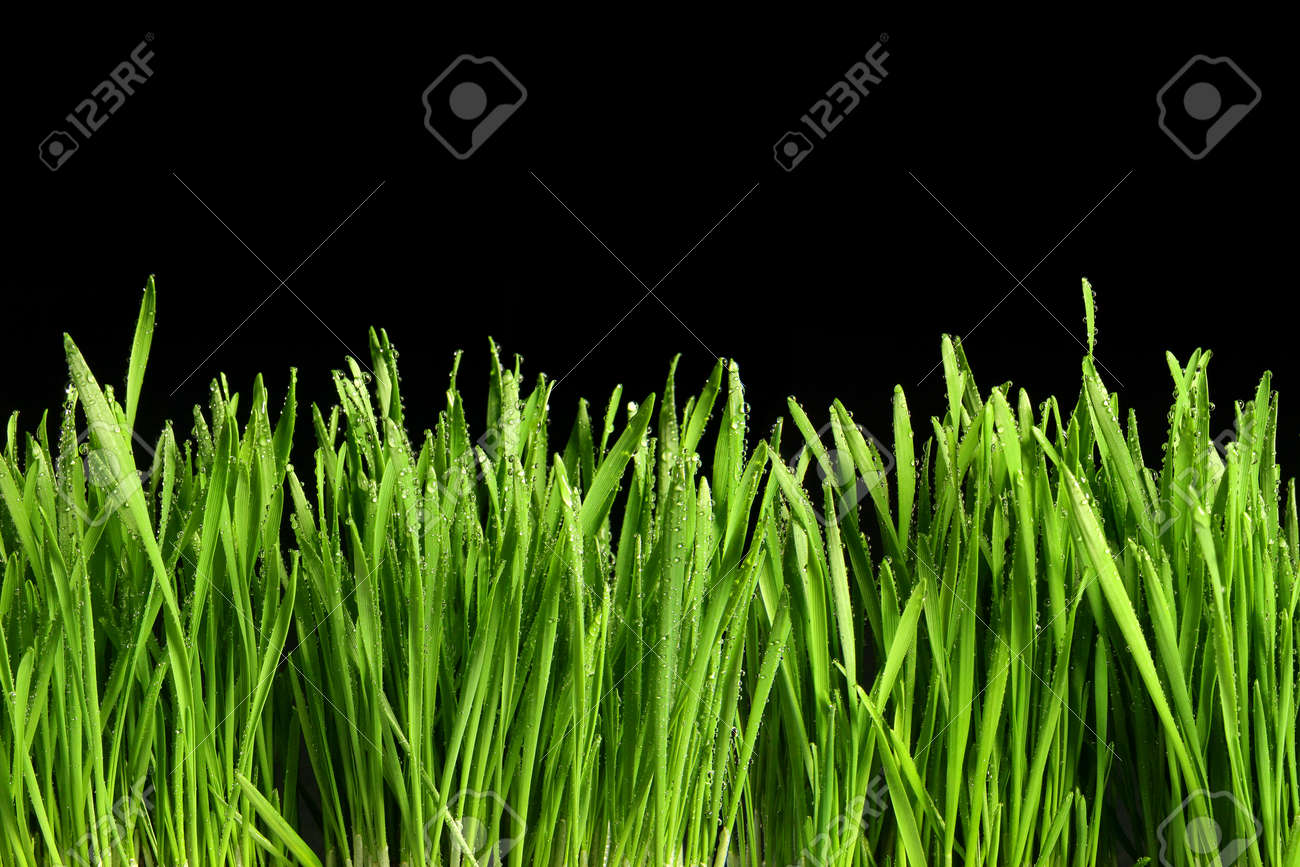 Green grass or Catnip cut out and isolated on black background for banner design and template - 165942673