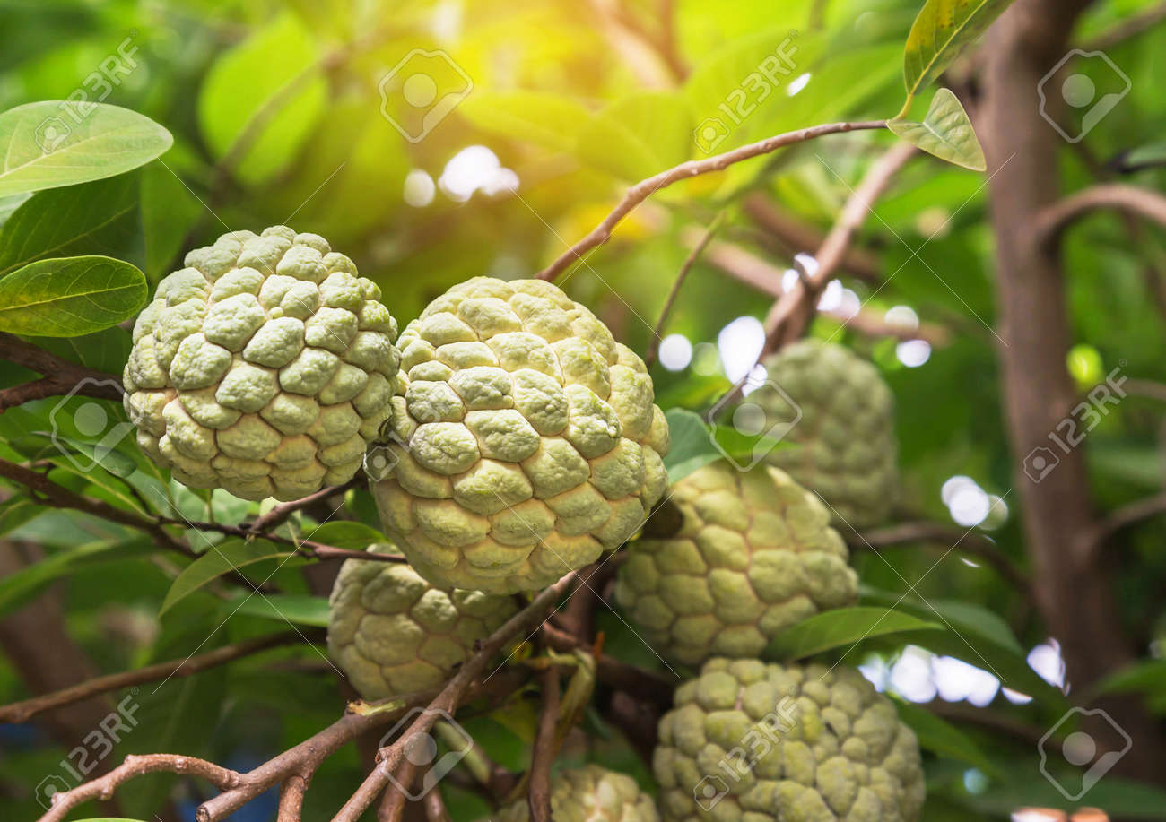Different Type Of Custard Apple