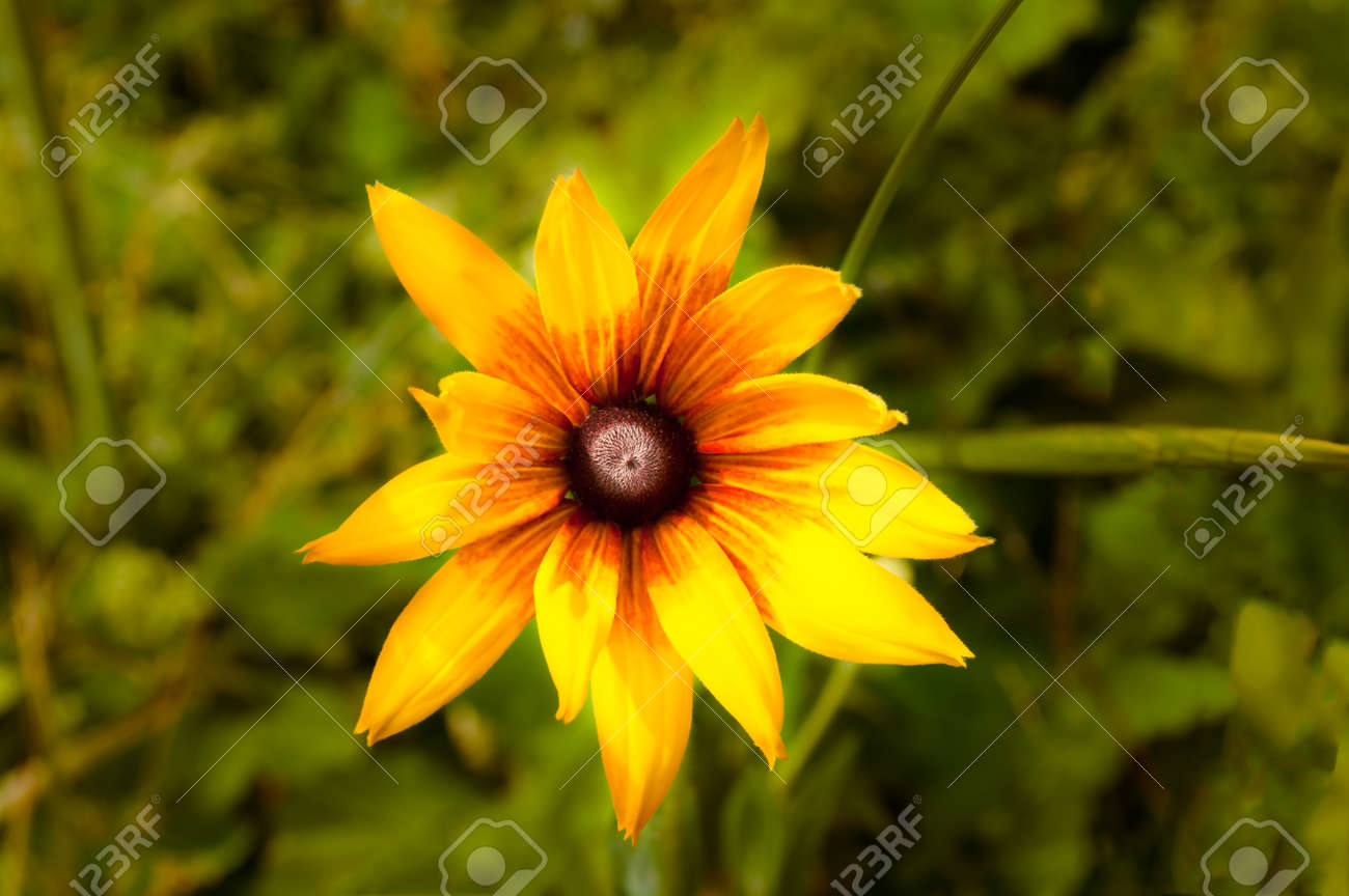 Rudbeckia Speciosa Or Yellow Flower As Nature View From Above