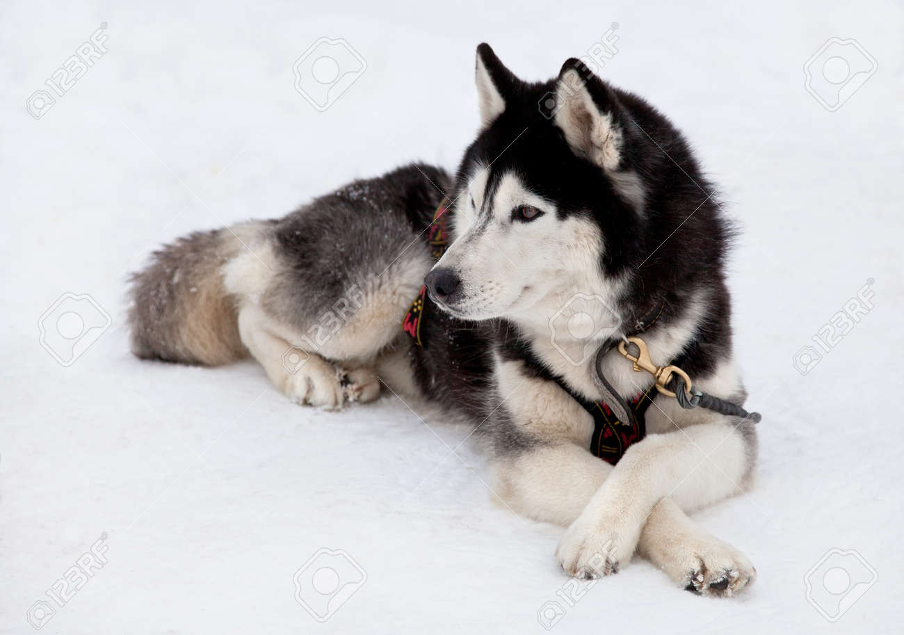 Siberian Husky Dog Lying On Snow Stock Photo Picture And Royalty