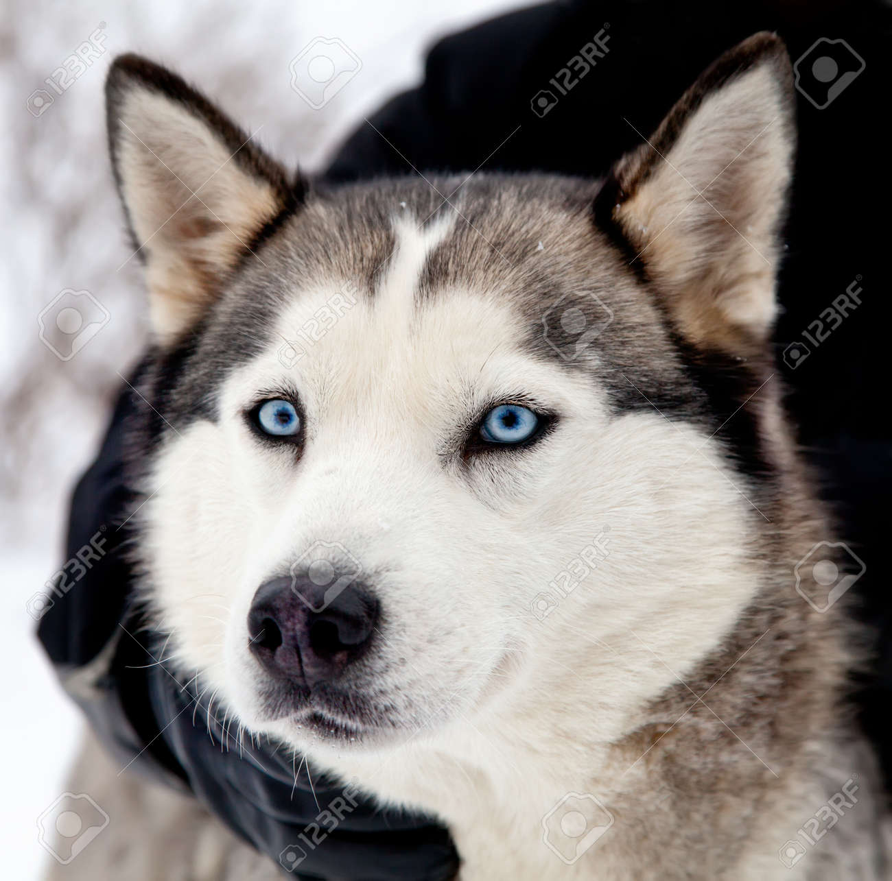 Portrait Of Siberian Husky Dog With Blue Eyes Stock Photo Picture