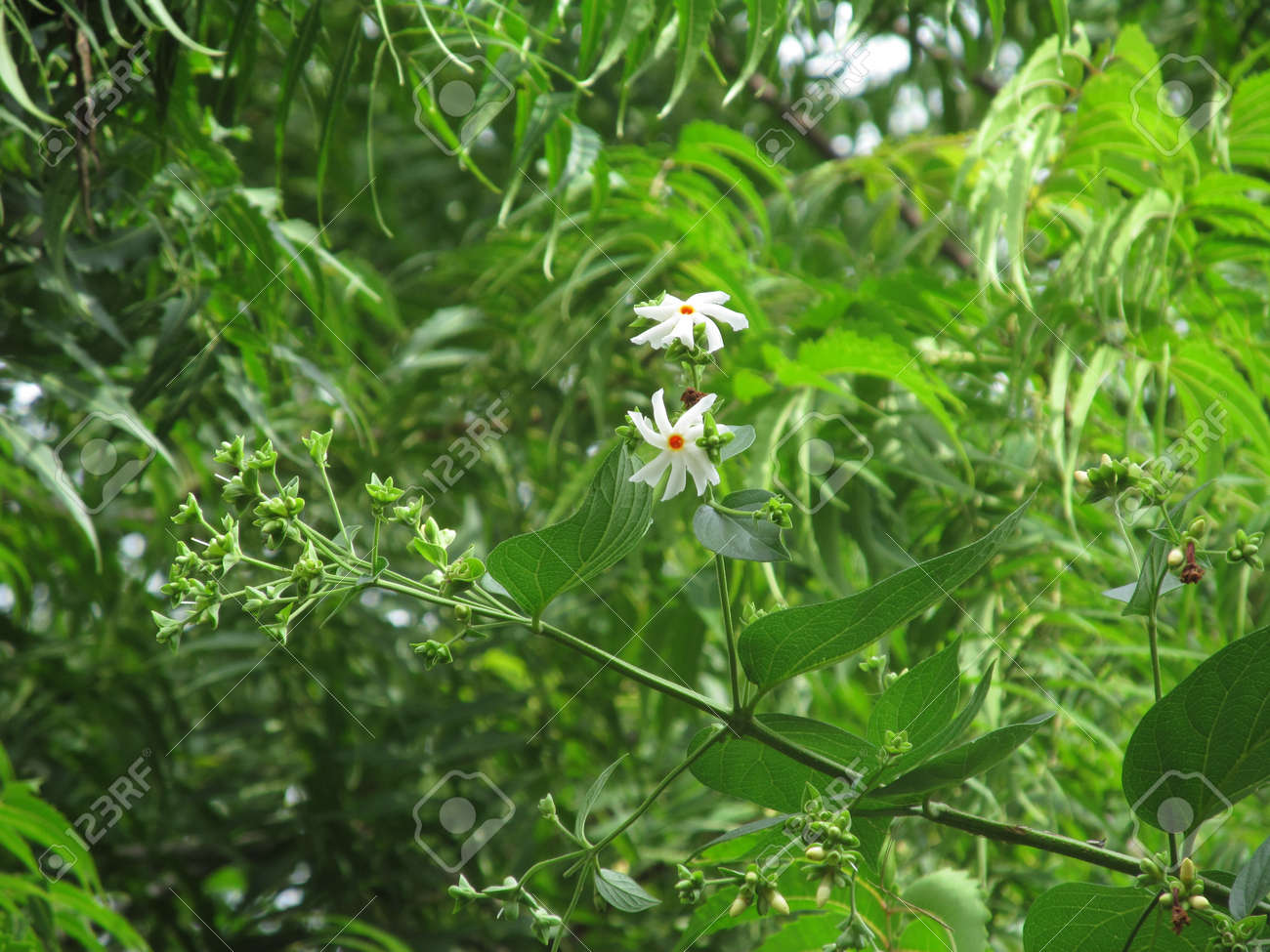 Two white harshingar night jasmine coral jasmine tree of sadness stock photo two white harshingar night jasmine coral jasmine tree of sadness seoli nyctanthes arbor tristis flower on tree in the garden izmirmasajfo