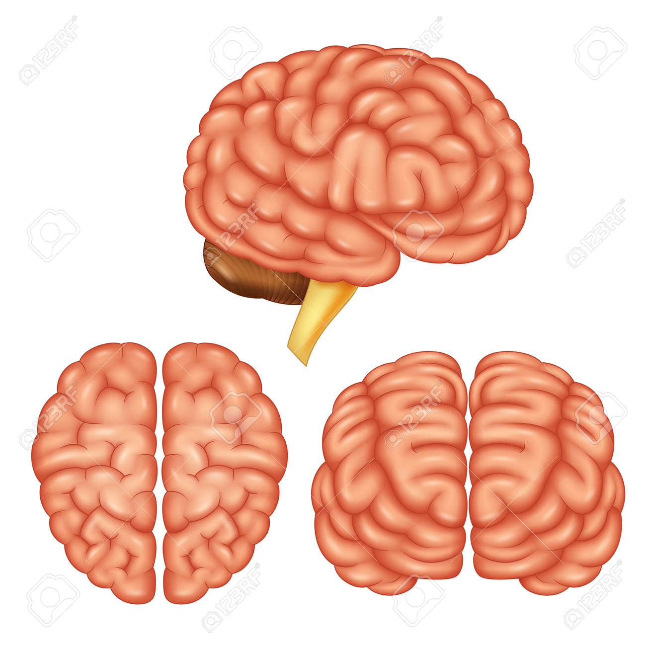 Human Brain Anatomy. Vector Illustration Royalty Free Cliparts ...