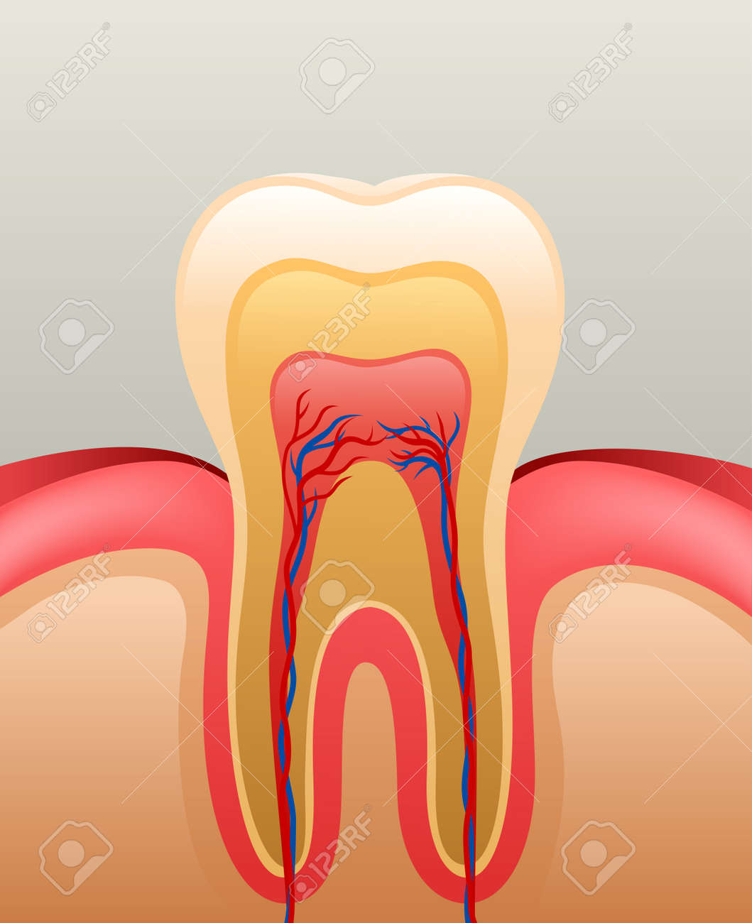 Healthy White Tooth, Gums And Bone, Detailed Anatomy. Vector ...