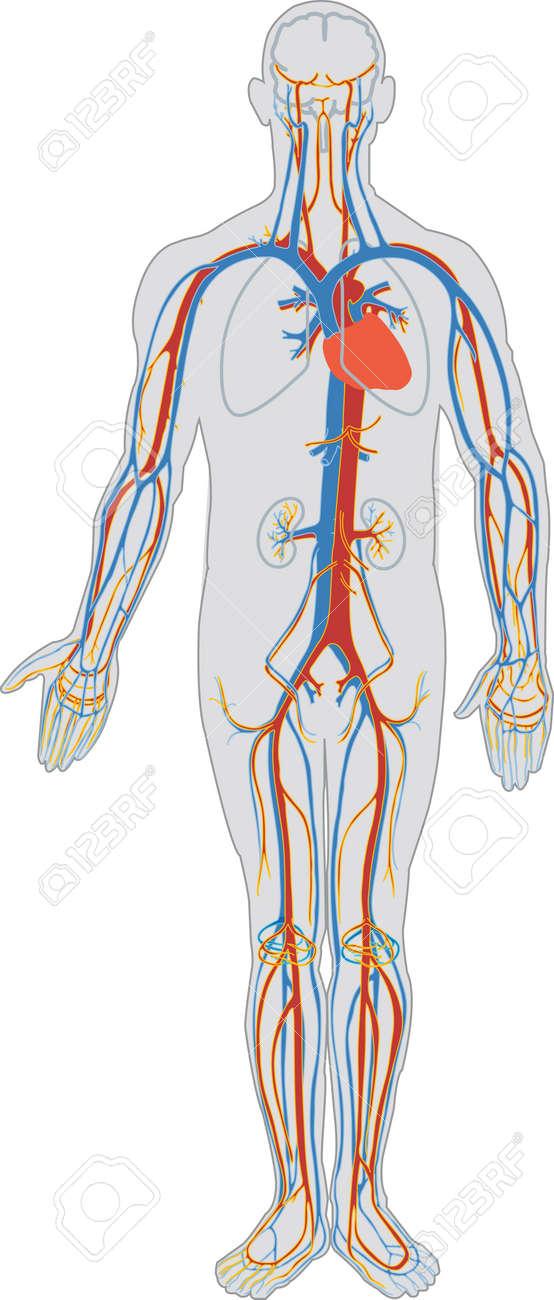 Der Menschliche Körper Und Kreislauf Lizenzfrei Nutzbare ...