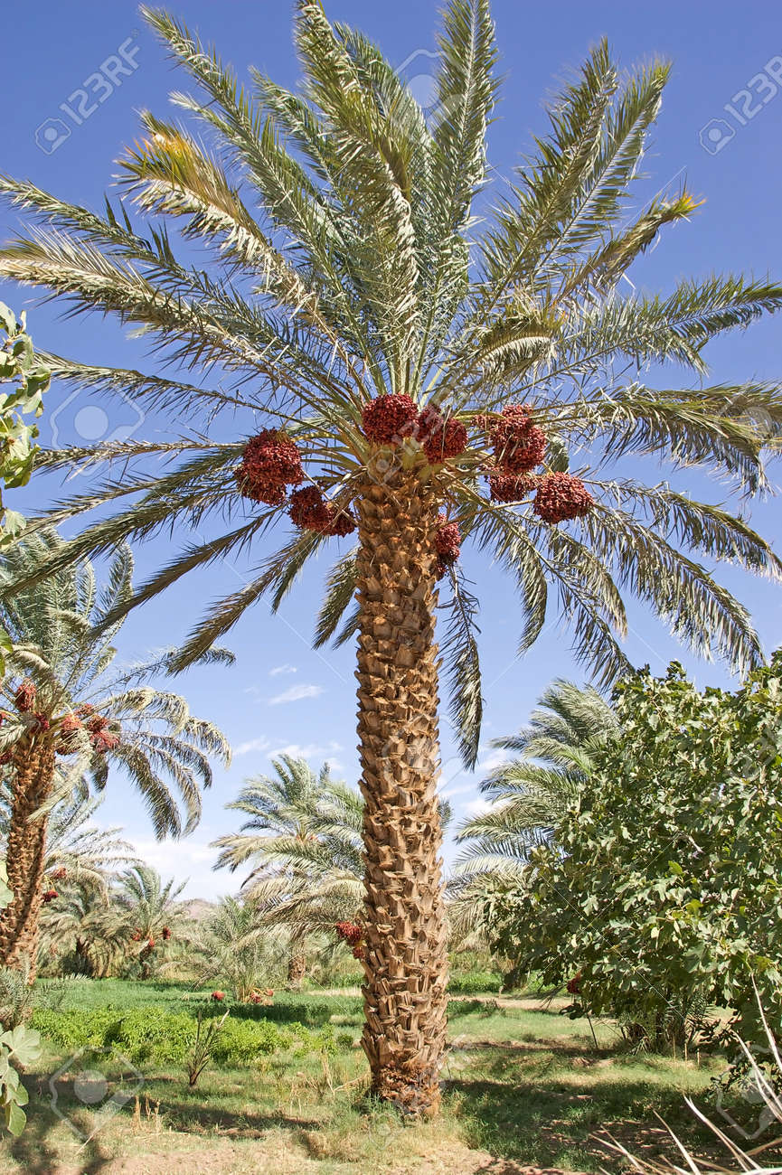 Date Palm Tree Phoenix Dactylifera With Dates Stock Photo Picture
