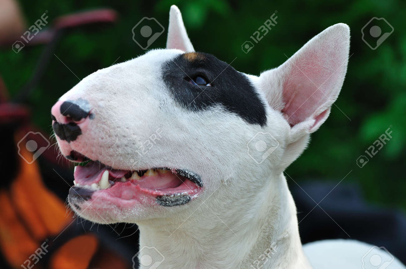 Portrait of bull terrier dog on the conformation show Stock Photo - 14410678