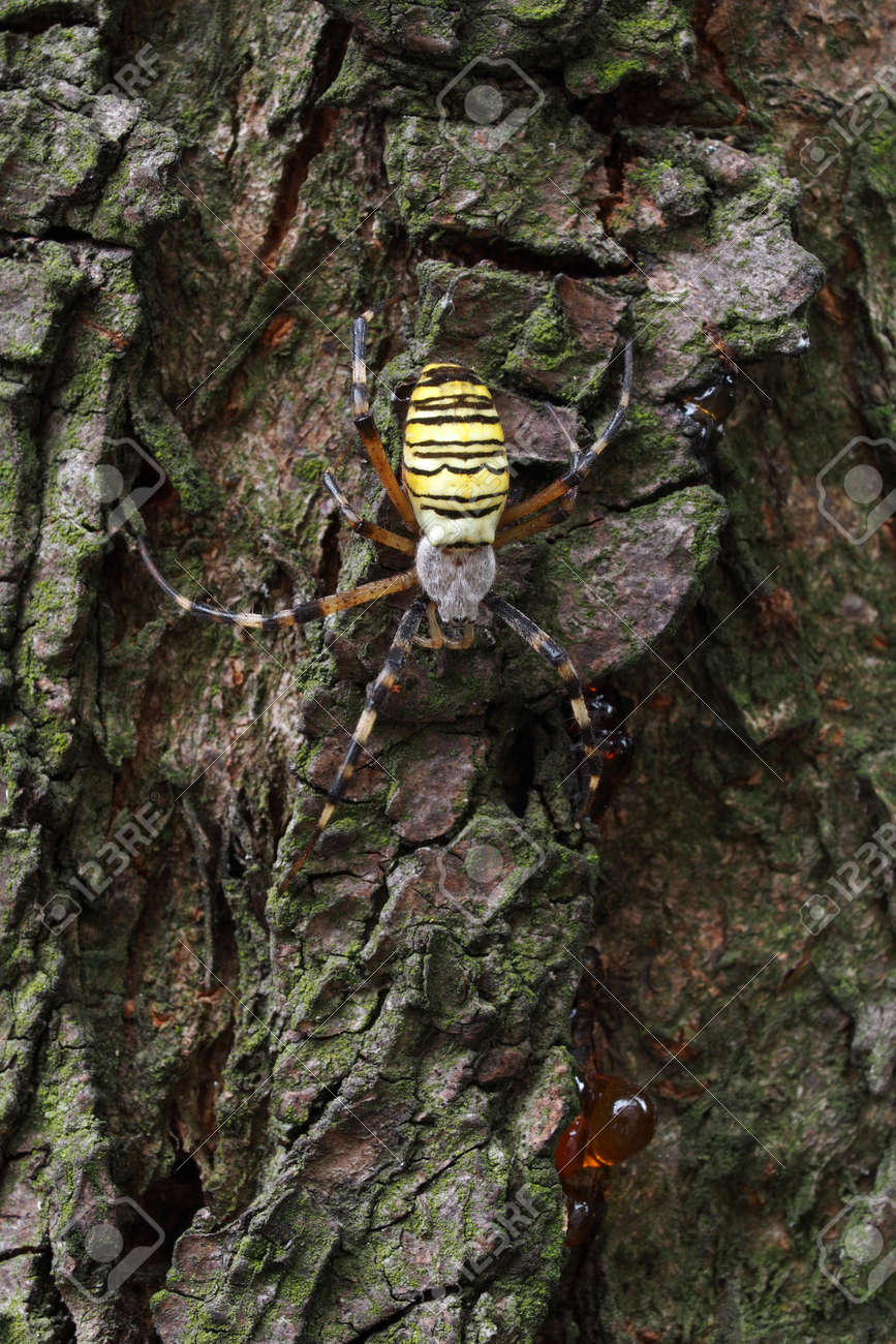 Macro of the wasp spider (Argiope bruennichi) on a tree. Stock Photo - 22576665