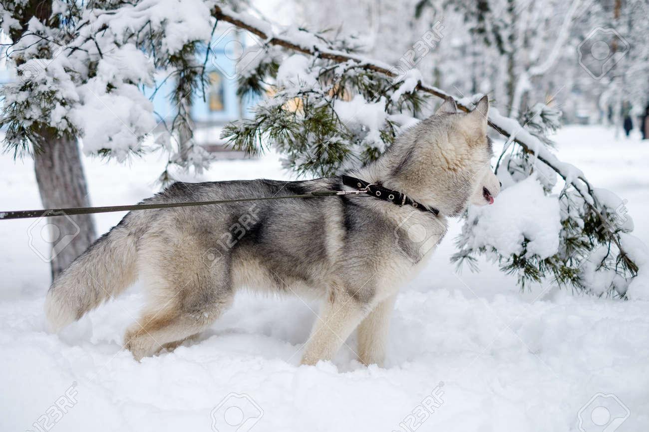 Beautiful Dog Breed Siberian Husky Photographed In Siberia In
