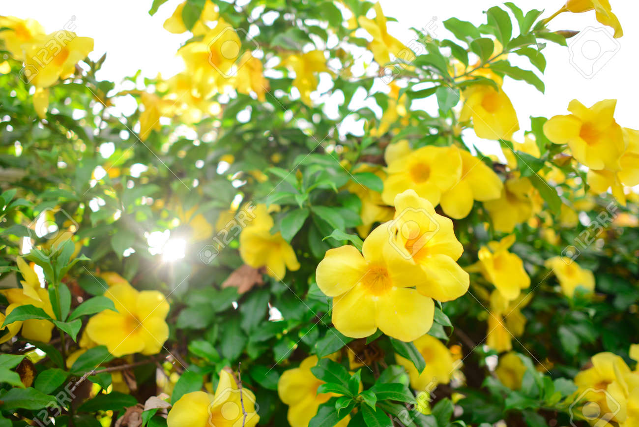Yellow Allamanda Or Yellow Trumpet Flower Bush Stock Photo