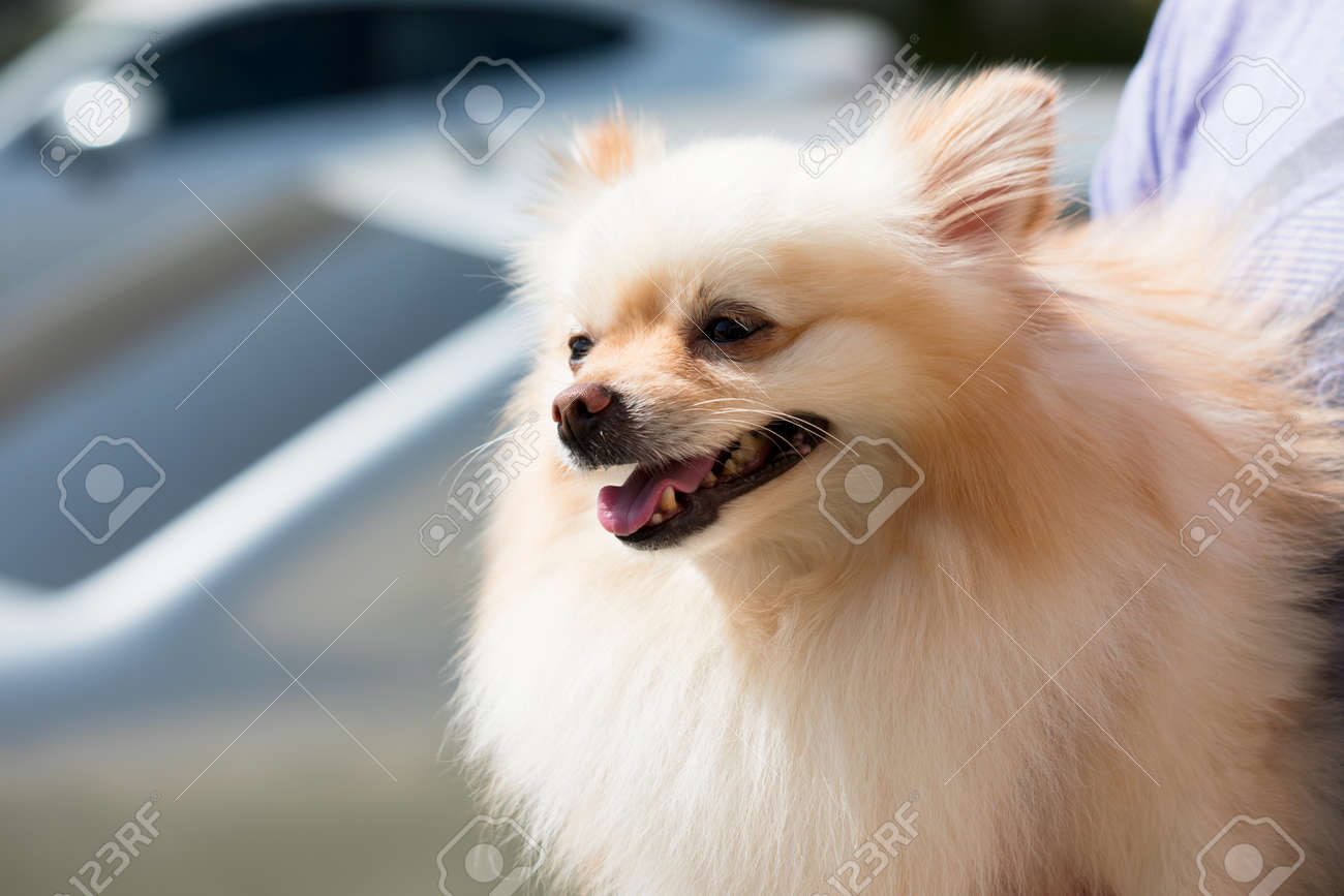 Small White And Cream Two Tone Pomeranian Dog Being Held By His