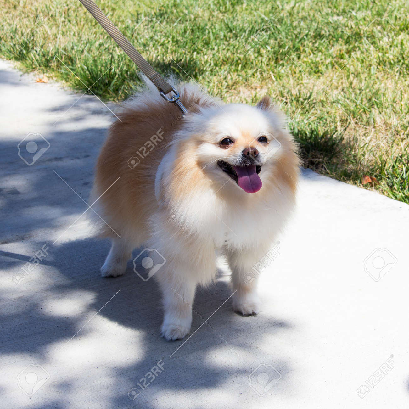 Small White And Cream Pomeranian Puppy Dog With Fluffy Mane Stock