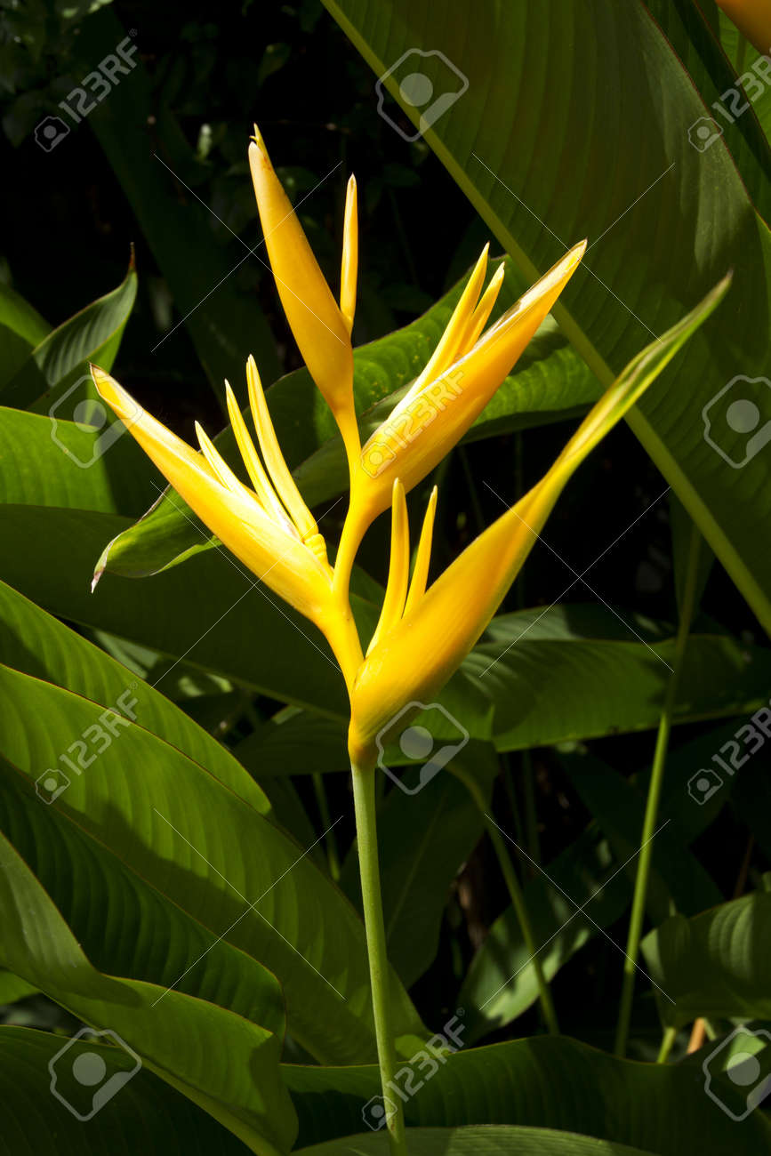 Yellow Bird Of Paradise Yellow Strelitzia Tree In The Sunlight