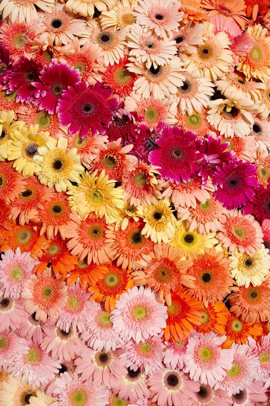 ガーベラ カラフルなガーベラの花虹の壁紙を配置します の写真素材