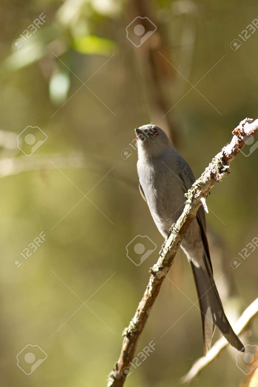 Ashy Drongo, Grey Drongo catching small branch of tree in the wood Stock Photo - 17628436