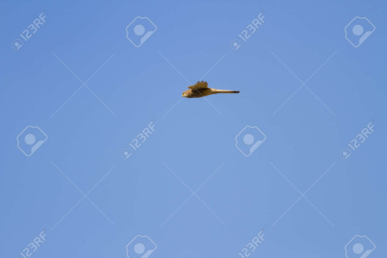 Flying Kestrel, flying common Kestrel with clear blue sky background Stock Photo - 17628417